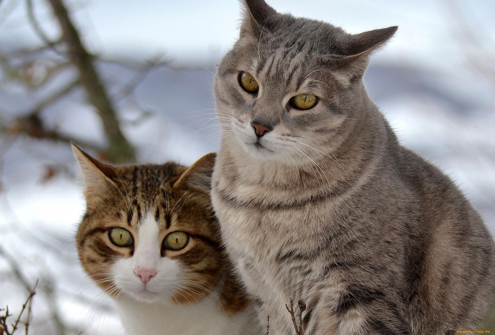животные, коты, прогулка, двое, снег
